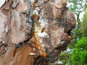 pine tree sap