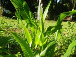 corn eaten
