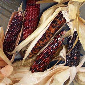 corn_wampum1